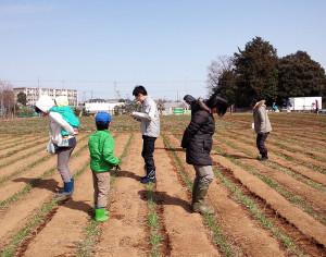 """昨年2015年2月の藤田農園での麦踏み風景。広々とした麦畑を少しずつ麦踏みしてゆく様子。横に、""""かにあるき""""するように、一歩一歩、麦を踏みつけてゆく(写真は『よってこ・小麦クラブ』ブログより)"""
