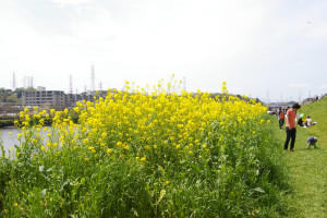 鶴見川河川敷を彩る黄色い菜の花