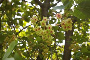日吉の丘公園で見つけた「緑の桜」