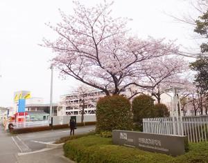 旧NRI野村総合研究所と旧損保ジャパン興亜火災の桜は今年も咲いています