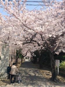 桜並木が素晴らしい金蔵寺の「桜大門」(桜大門に隣接する「こじま寝装」