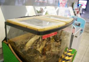 スタンプラリーも始まった夏休みの日吉駅で、カブトムシは子どもたちに相変わらず大人気