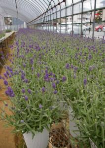 横浜ではここだけ、綱島生まれの鉢植えイングリッシュラベンダー(2016年4月27日撮影) ※来年(2017年)は市場に出荷予定