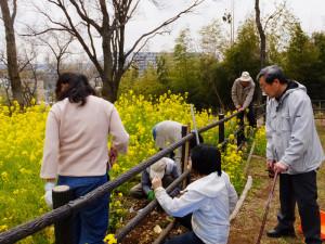 「シドモア桜」の普及活動でも全国的に知られる日吉在住の樹木医・池本三郎さん(右)や、磯子区在住の樹木医・中井勲(いさお)さんも参加し、近隣住民から寄贈された種を新たに撒く作業を行った