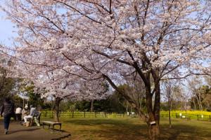 シドモア桜ももうすぐ満開、日吉の丘公園の桜もだいぶ見頃となり、穏やかに公園で花見や散歩をする人々が多く見られました(4月5日15時頃撮影)