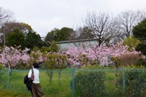 綱島の歴史を伝える桃の花が今週末にも満開を迎える。写真奥は歴史的建造物の池谷家住宅