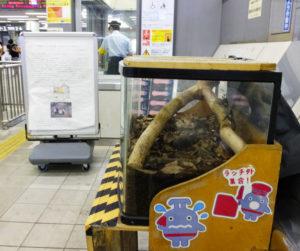 今年も日吉駅地上改札口外、券売機近くに「カブトムシ」がやってきた!駅員の皆さんが深夜に面倒を見ることもあるという