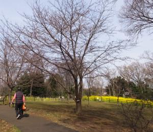 日吉の丘公園(リンクは横浜市サイト)に植えられた「シドモア桜」。(2017年)3月23日の時点ではまだ開花していなかった。池本さんら日吉の丘公園愛護会のメンバーが種から植え育てた菜の花が見頃。シドモアの「遺志」であった様々な種類の桜の花を楽しめるよう植えているという