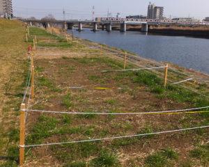 """綱島の""""三大花まつり""""とも言われた菜の花まつりは今年は開催されないことになった。種植えは行われたが、菜の花の生育も悪い(2018年2月24日、鶴見川河川敷)"""