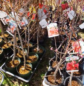 今年の綱島桃まつりでも、花桃の苗木が配布された(2018年3月11日撮影)