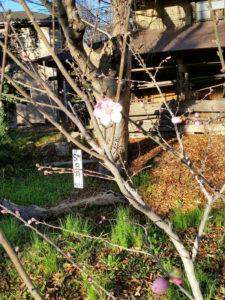 日月桃の花(2018年3月19日、池谷道義さん提供)