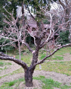 池谷家(綱島東1)の日月桃。今年(2018年)は3月18日に開花した(3月19日、池谷道義さん提供)