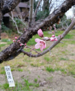 今年は昨年より3日早い3月15日に開花した日月桃(じつげつとう)の花。綱島の桃の歴史を継ぐ初期に植えられた木だという(池谷道義さん提供、同日)