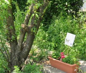 蝶を育む「花と緑のプランター」が既に(2019年)4月から松の川遊歩道(緑道)に設置されている。左の樹木のガムテーム位置などに約30枚、英語と日本語の名前を記した樹名板が設置される予定。ファミリー層の樹名板作成イベントへの参加も歓迎しているとのこと