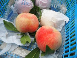 「池谷桃園」で収穫したばかりの白鳳(はくほう)。今年も綱島の桃を古民家や桃畑に隣接した直売所で、その日の収穫量に応じ時間も設定、販売している(2019年7月10日)