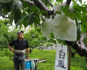 現在、約60本ある同家の桃の木のうち、「白鳳」は半数を占めている。今年の天候不順を心配する池谷聡さん