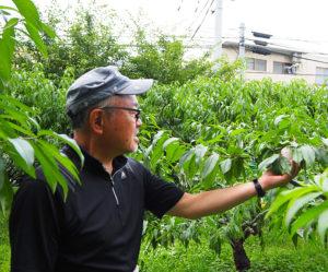 桃の実に触り、収穫できるか、食べごろかを判断するという