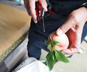 一つひとつが手作業。枝が他の桃の実を傷つけないように手入れを行う