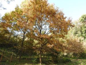 12月に入ると、クヌギの木からどんぐりがたくさん降ってくる(慶應義塾大学 ・日吉丸の会提供)