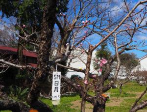 今年(2020年)も、「標準木」と言われる池谷家の日月桃(じつげつとう)が、過去最速、そして美しく花開いた