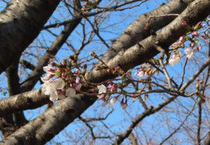 日当たりの良い枝には桜が多く花開いていた(桜大門、3月18日)