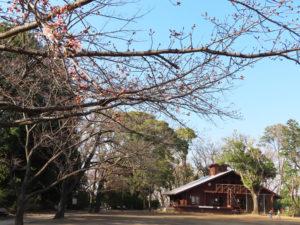 綱島公園でも日当たりが良い枝から桜の開花が見られた(3月18日)