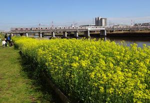 綱島駅・大綱橋近くの「菜の花畑」ことビオトープの菜の花が満開に(3月15日)