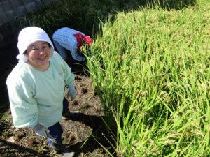 生産者の想いを伝えたい――創業130年超の歴史を持つ角屋商事株式会社では、日吉・箕輪町で収穫した神奈川県産米「はるみ」の新米を今年(2020年)も入荷し販売している(2019年の稲刈り時、同社提供)