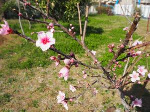 小さな「花桃」の木では、すでにたくさんの花たちが春の到来を愉しんでいるかのようだった