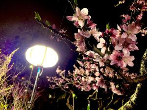 綱島の歴史を継ぐ池谷家の桃を照らす「ぼんぼり」プロジェクトが始動。医療・介護従事者への感謝の想いを込めての初挑戦となった(池谷桃園提供)