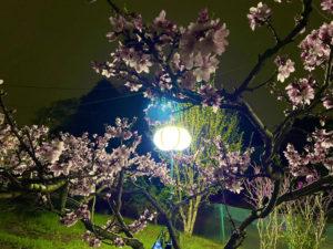 3台の「ぼんぼり」と1台の投光器は、東急新横浜線の工事現場で使用されているものを安藤ハザマが提供したという(池谷桃園提供)