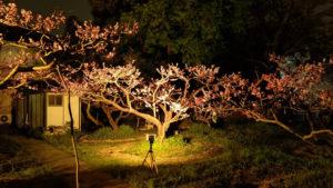 投光器で「温暖色」にライトアップされた桃も優雅に見える(池谷桃園提供)