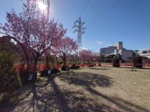 筆者が新横浜駅前公園を訪れた時はオカメザクラが見頃だった(2021年3月、林宏美さん撮影)