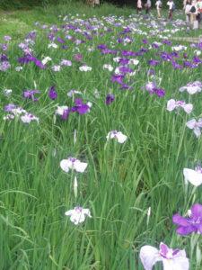 菖蒲(しょうぶ)園は広さ約1500平方メートル(テニスコート約6面分)、約4500株の花菖蒲(しょうぶ)が咲き競うという(港北ボランティアガイドの会提供)