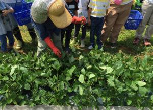 EBARA FARM(えばらファーム)とクロス・ディメンションでは、季節にあわせた野菜の収穫体験を行っている(同撮影・提供)