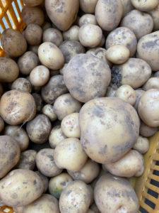試し掘りした今回収穫できるジャガイモ(黒須悟士さん撮影~クロス・ディメンション提供)