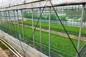 箕輪町のビニールハウス内で青々と育てられた苗(5月28日、飯山さん撮影・提供)